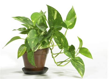 indoor plan houseplants cleanse indoor air while beautifying the home