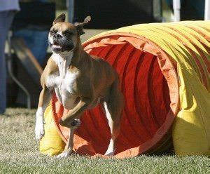 how to start agility for dogs using agility obstacles to improve health