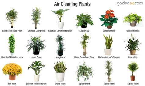air cleaning plants garden