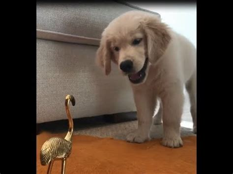 angry golden retriever golden retriever puppy and getting angry funnydog tv