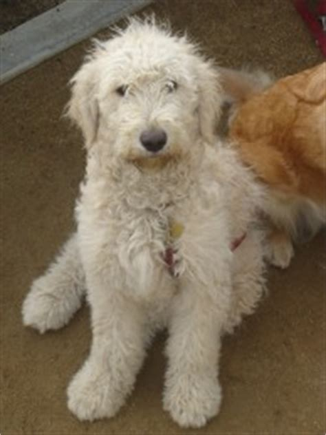 goldendoodle puppy cost the canadian teddy goldendoodle the best pet for your family