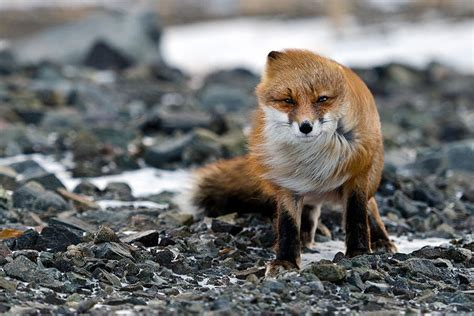 dramanice fox fall in love these 22 photos will make you fall in love with foxes
