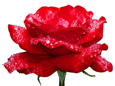 imagenes de rosas verdes con frases rosas preservadas para navidad
