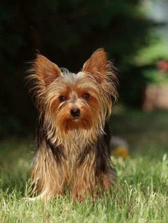 yorkie club terriers images terrier wallpaper and background photos 13766242