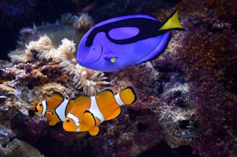 la chachipedia el pez payaso apexwallpaperscom pez payaso y pez cirujano imagen foto animales