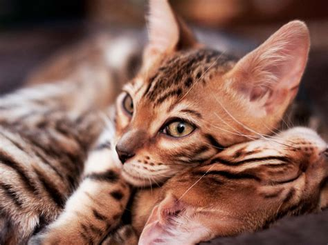 adopt a retired should you adopt a retired breeder bengal cat care advice