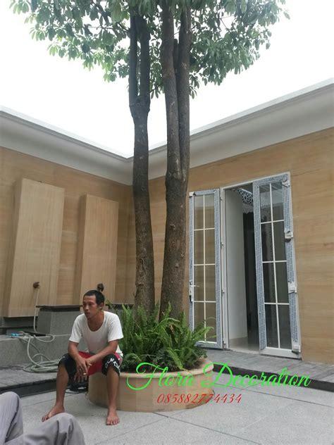 jual pohon pule  harga  murah gambar pohon