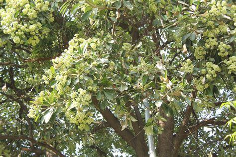 fiori molto profumati albero con fiori bianchi profumati gpsreviewspot