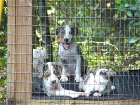catahoula cur puppies for sale catahoula leopard puppies for sale