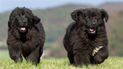 cani docili da appartamento le 30 razze canine pi 249 docili adatte a vivere in
