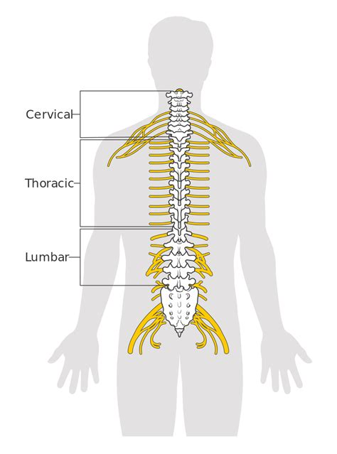 diagram of back in and spinal cord diagram in free engine image for user