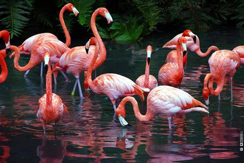 wallpaper flamingos flamingo birds wallpapers asimbaba free software