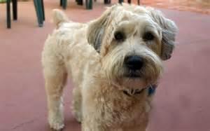 soft coated wheaton terrier haircuts wheaten terrier haircut styles wheaten terrier haircut