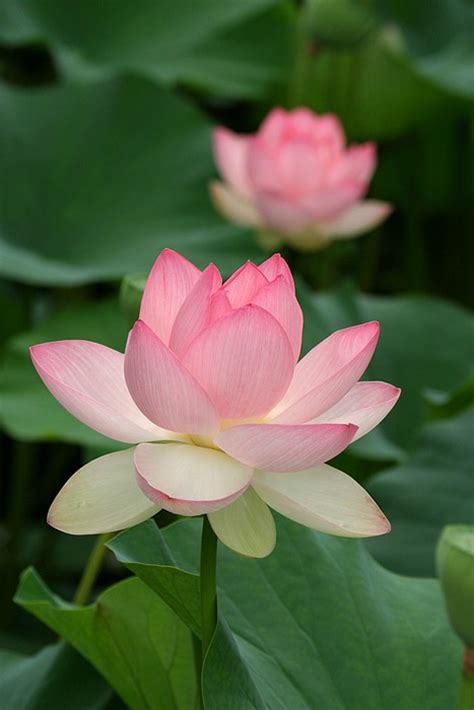 what is lotus blossom it s lotus blossom time