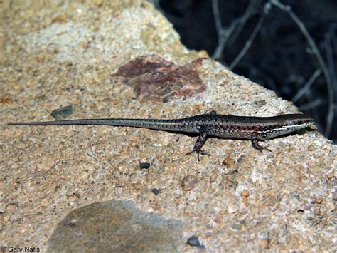 australian backyard lizards striped rainbow skink carlia munda