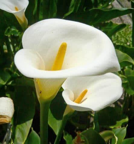 Jual Bibit Bunga Calla jual tanaman calla bibit