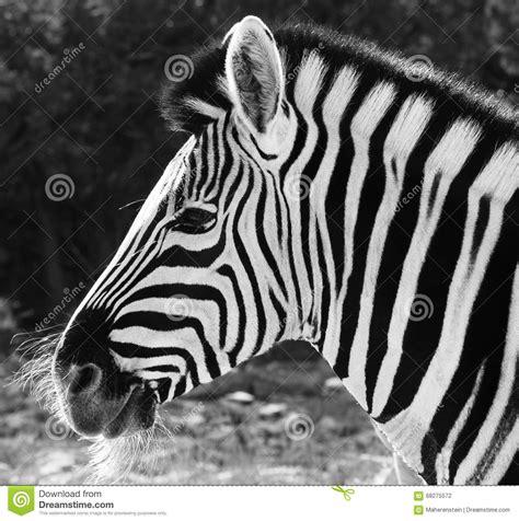 imagenes para perfil blanco y negro cebra africana en blanco y negro foto de archivo imagen