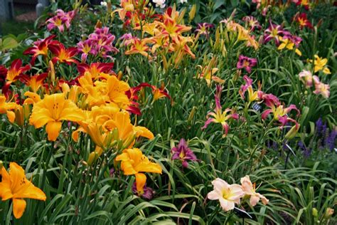 Garden Flowers Perennials Landscapes Powerhouse Perennial In Every Colour