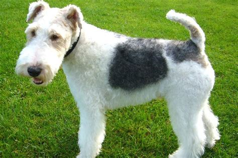 wire fox terrier puppies breeders wire fox terrier breed information on wire fox terriers