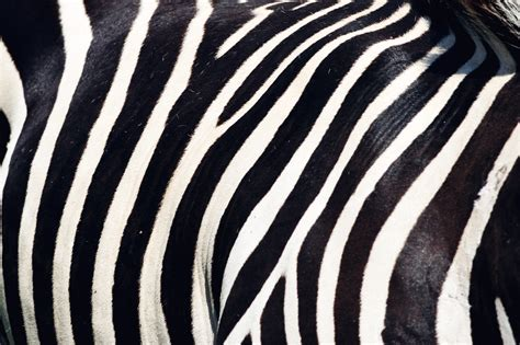 pattern of zebra stripes zebra pattern www pixshark com images galleries with a