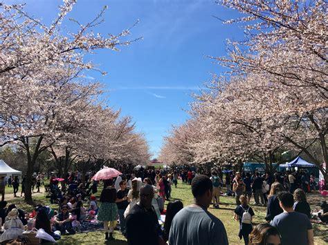 cherry blossom festival cherry blossom festival philadelphia