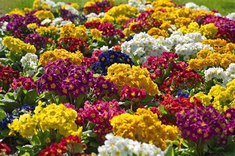 fiori giardino perenni fiori perenni piante perenni caratteristiche dei fiori
