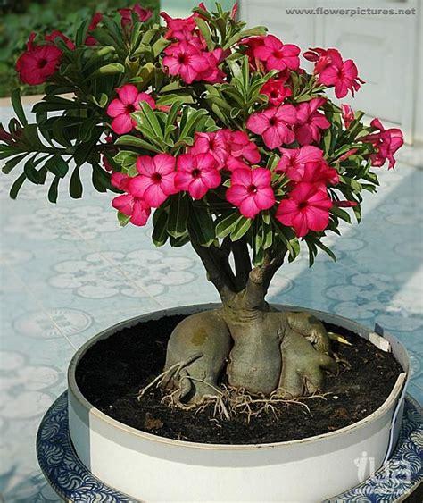 desert rose plants images  pinterest bonsai