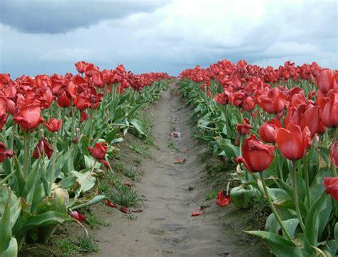 tulip rubber st photo composition