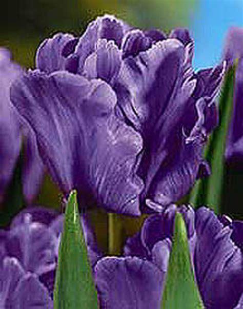 Large Garden Trellis Tulip Blue Parrot Parrot Tulip Bulbs
