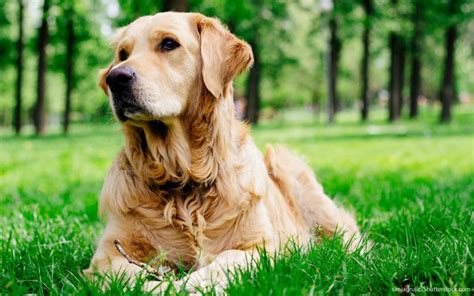 average expectancy for golden retrievers the 30 most expensive breeds to own las vegas review journal