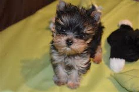 miniature yorkies adoption mini tea cups yorkie puppies on adoption offer 200