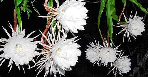 uttarakhand state flower brahma kama
