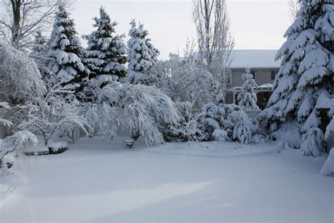 backyard snow trees bent over from snow backyard gardening blog