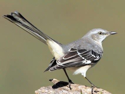 backyard birds of southern california northern shrike identification all about birds cornell