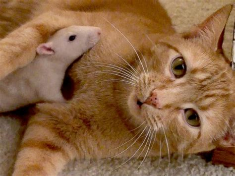 cat rat cat and rat are friends cat daily news