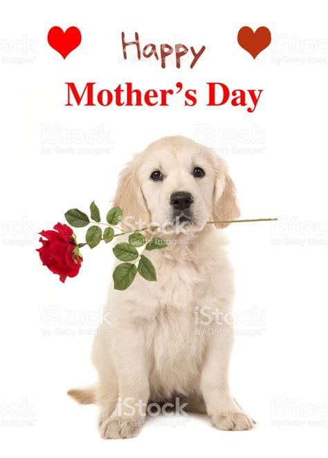 golden retriever day golden retriever puppy in a happy mothers day wishing card stock photo 638928886 istock