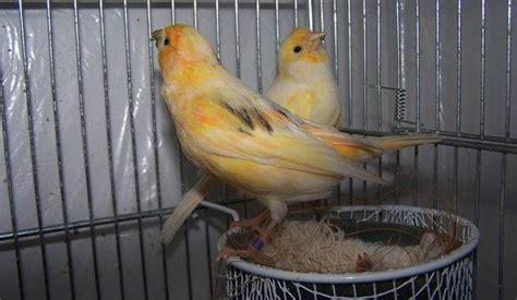 Mengatasi Masalah Penangkaran Kenari H972 mengatasi masalah dalam penangkaran burung kenari