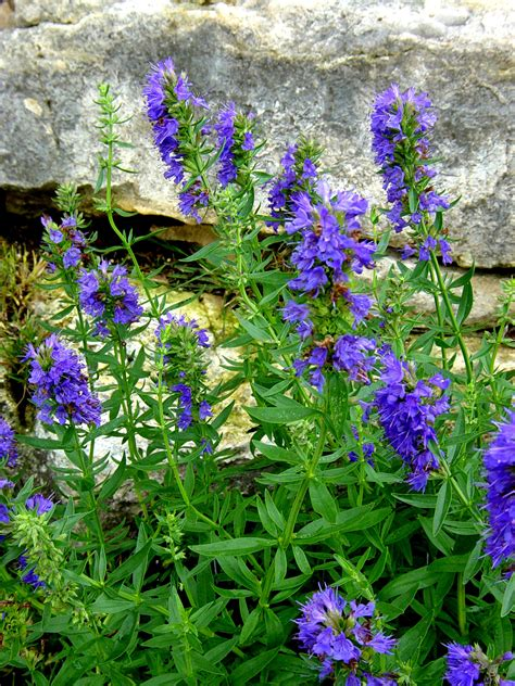 where to buy herb plants hyssop buy organic medicinal herb plants