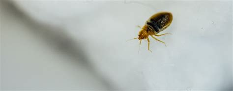 cause of bed bugs how do you get bed bugs the causes of bed bugs jg pest