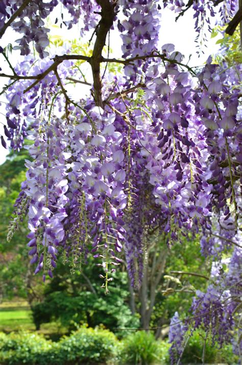 getting wisteria to bloomm scandi home blooming wisteria