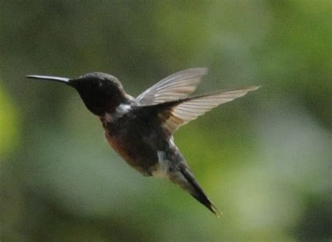 michigan hummingbird festival follow up magic capital news