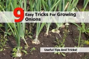 how to grow onions planting onion sets apps directories
