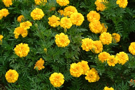 new year marigold flower weather gardening freshen with new flowers pruning