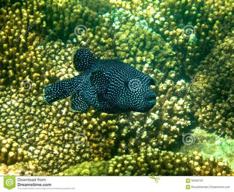 black  white spotted guinea puffer fish  sea