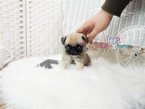 teacup pugs for sale in florida the 25 best teacup pugs for sale ideas on baby pugs for sale pug puppies