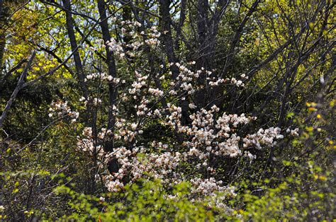 small flowering trees in the landscape serviceberry nick s nature pics