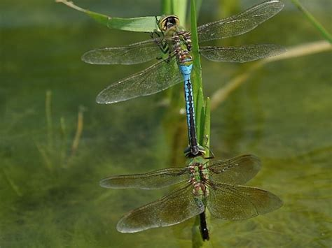 common green darner dragonflies mating photo by chuck tague