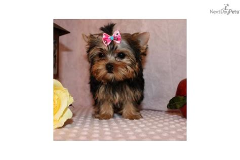 yorkie poo puppies for sale in springfield mo yorkiepoo yorkie poo puppy for sale near springfield missouri 87dff9f7 a7d1