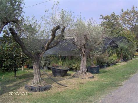 prezzi ulivi da giardino piante ulivo prezzi bonsai ulivo piante bonsai coltivazione