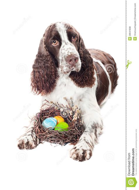 dogs 2 easter eggs springer spaniel with easter eggs royalty free stock photos image 28641838